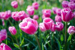 Dreamland tulips