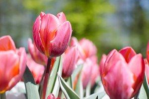 Bicolor pink tulip