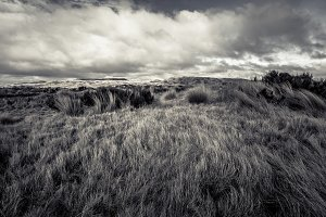 Tussock on Volcanic Plateau, NZ