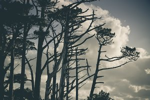 Battered coastal pines with cloud