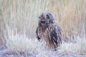 Short Eared Owl Head Tilt