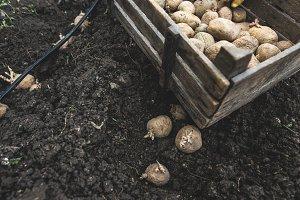 Planting potatoes in bio garden