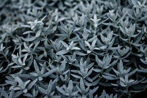 Silver succulents