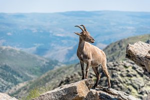 Ibex on top of the rocks