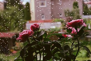Stock photo: Rain and roses