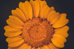 Vintage Yellow Daisy