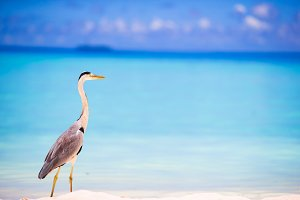 Grey heron standing on white beach on Maldives island