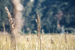 Spikes in a meadow over nature background