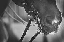 Dressage horse close up