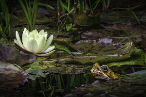 The Toad and Lily