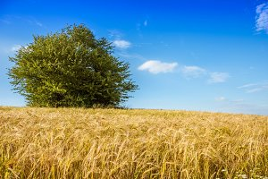 Field of grain and tree