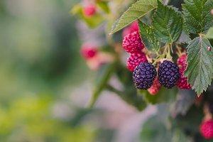 Blackberries Ripening #1