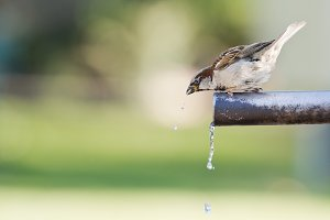 Sparrow drinking water.