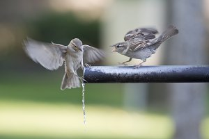 Sparrows drinking water.