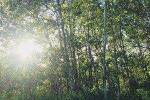 Lo-fi Birch Grove Snapshot 1