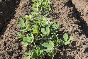 Peanut plantation. Young plants