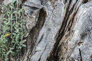 Old olive tree crust