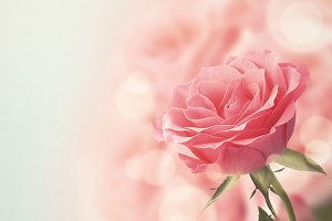 Beautiful Pink Rose. Retro style toned.
