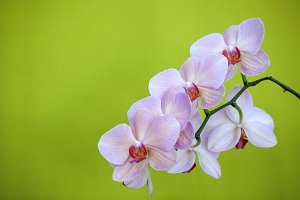 Orchid flowers 2