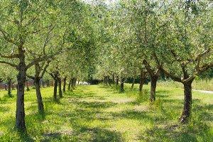 Italian olive trees