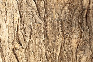 Texture of a pine