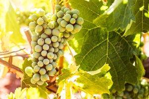 Grape in vineyard