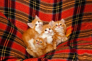 Four kittens hiding in folds