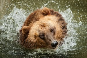 Brown bear takes a shower