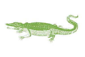 Vector Alligator Illustration