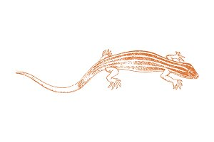 Vector Lizard Illustration