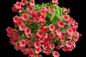 Red althea flowers isolated o black