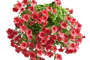 Red althea flowers isolated on white