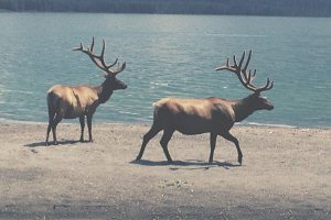 Elk on Yellowstone Lake