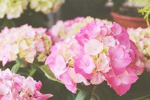 pink hydrangeas, closeup