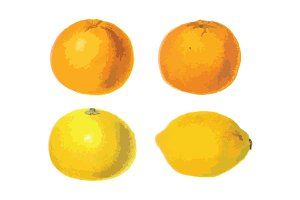 4 Vector Citrus Illustrations