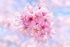 Hanami, Sakura Flower Cherry Blossom