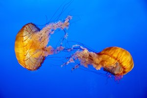 Two orange jellyfish