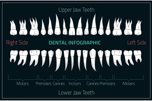 Human Teeth Infographic.
