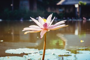 Water Lily in garden pond. Close up view of pink lotus flower. with selective focus