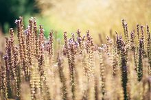 Beautiful purple flowers and dry gold oats in meadow with soft focus, summer nature background