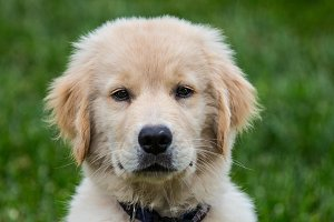 Soulful Eyes Golden Retriever Puppy