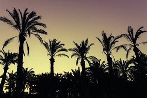 Silhouette Coconut Palm Tree.