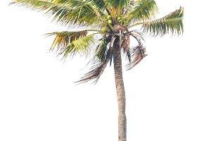 coconut tree isolated