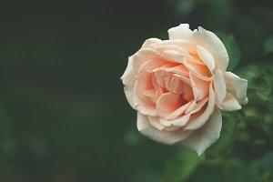 Pastel orange rose close up