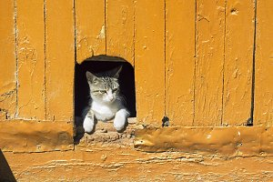 cat in vintage wooden door