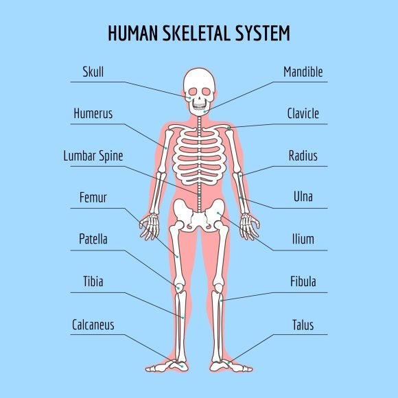 Human skeletal system graphics creative market ccuart Image collections