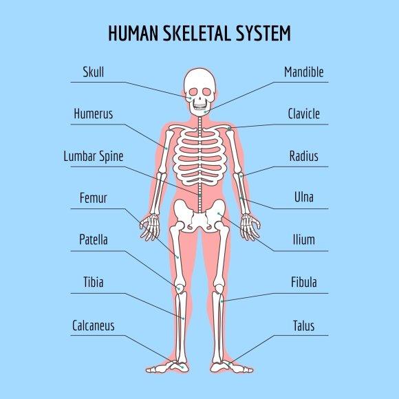 Human Skeletal System Graphics Creative Market