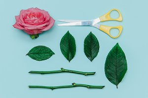 leaves, rose and scissors