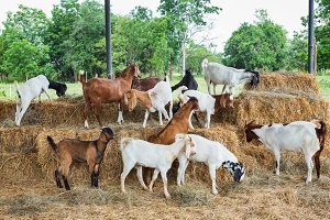 Goat in farm