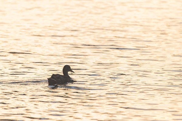 Duck on golden pond L